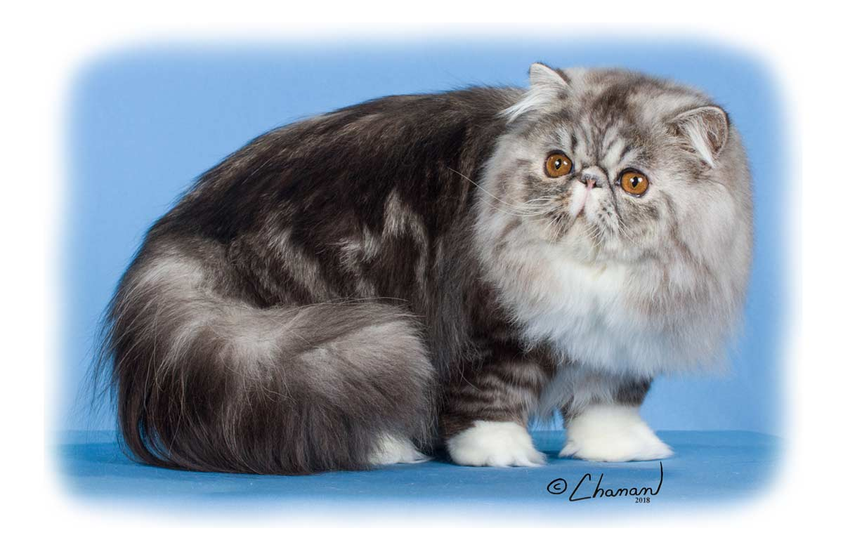 GC RW  Pelaqita Nothin But Trouble - Persian cat